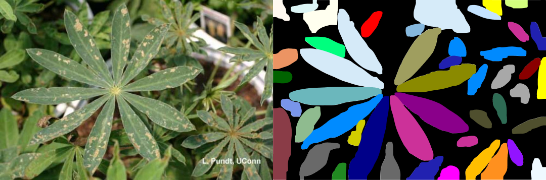 Detected leaves of lupine with help of instance segmentation